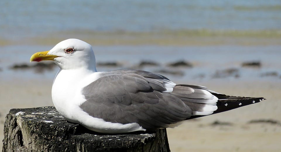 White Seaside Sea Bird Seagull Animal Grey Beach